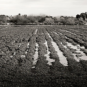Water separating rows of vegetation - Riparian Preserve, Gilbert, AZ
