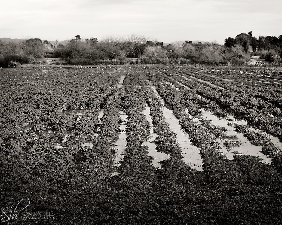 Water separating rows of vegetation - Riparian Preserve, Gilbert, AZ