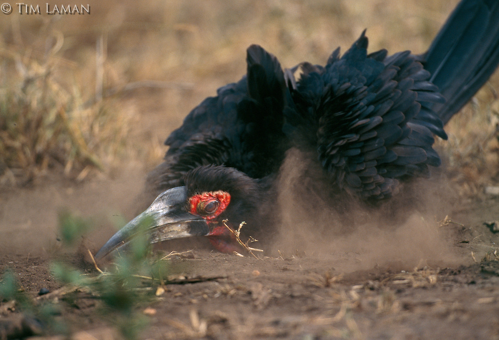 A southern ground hornbill (Bucorvus cafer) in the dirt.