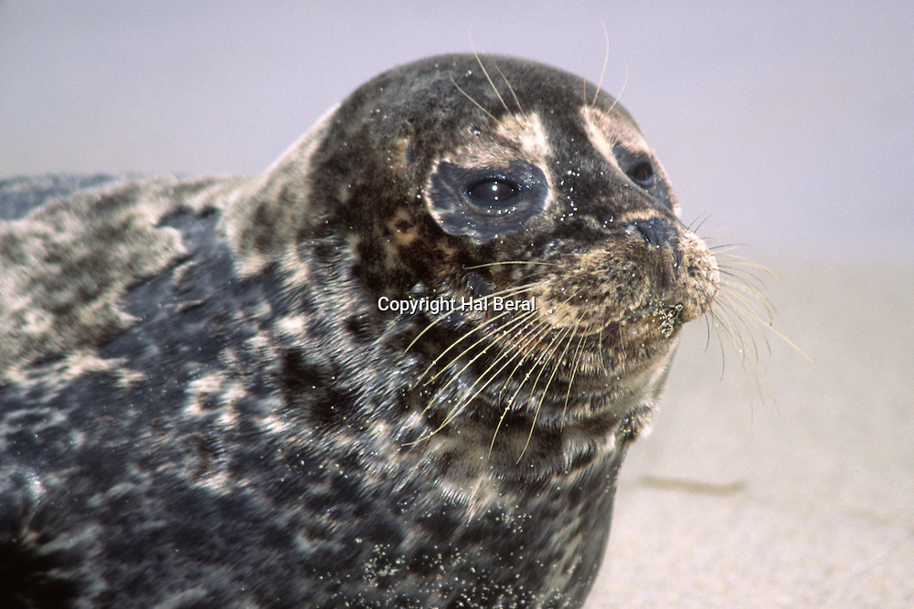 Harbor Seal resting on the beach-closeup.(Phoca vitulina).LaJolla,California