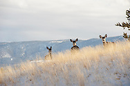 Mule Deer, does, yearling