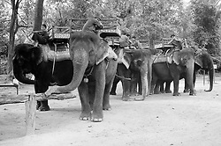 Men wait with their elephants to offer rides to tourists through the vast complex of temples at Angkor, near Siem Reap, Cambodia.  Unlike the children selling souvenirs, who stalk tourists and shout their offers relentlessly, the men wait quietly.