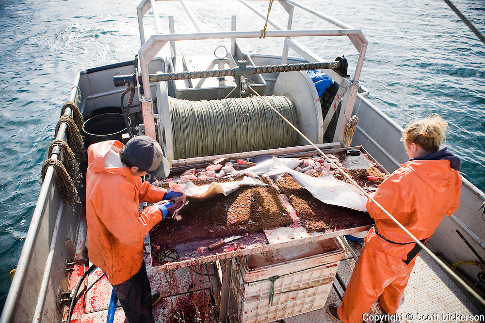 Keith Bell and Emma Teal Laukitis gutting halibut while commercial longline fishing in the Aleutian Islands, Alaska.