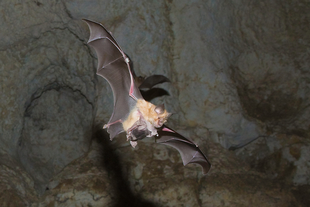 Mehely Horseshoe bat ( Rhinolophus mehelyi) with juvenile in a cave, Mehely-Hufeisennase mit Jungem, near Nikopol, Bulgaria