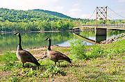 Canada geese walk near a yellow suspension bridge in Beaver, Arkansas.