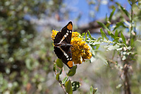 Adelpha californica (California Sister) ♀ at Grizzly Flat, Los Angeles Co, CA, USA, on Parish's goldenbush 24-Sep-17