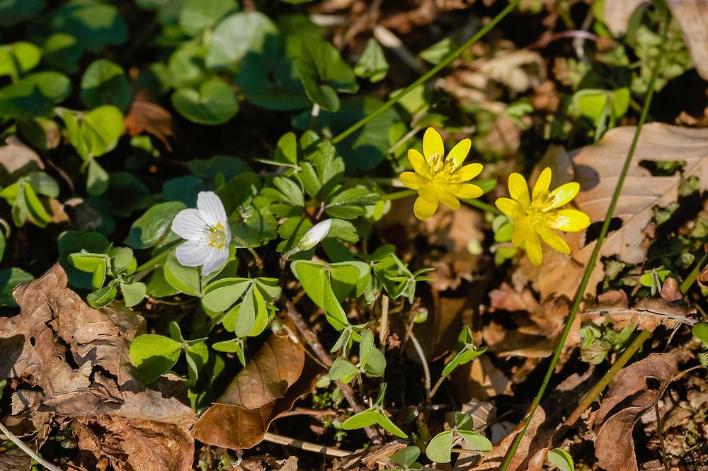 Gewoon speenkruid, Ranunculus ficaria subsp. bulbilifer