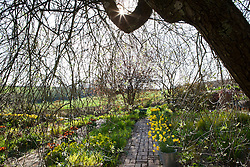 The brick garden at Glebe Cottage in spring from under the willow. Narcissus jonquilla 'Flore Pleno' in galvanised buckets and Tulipa 'Abu Hassan' and T. 'Yellow Purissima' in terracotta pots