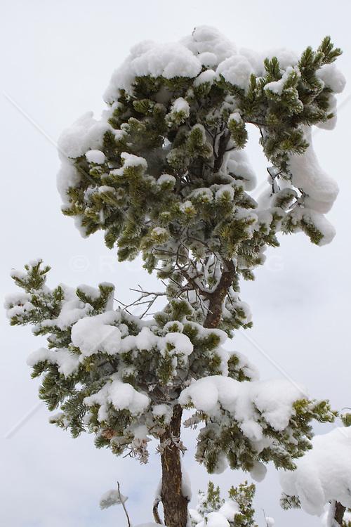 snow covered trees in Santa Fe, NM