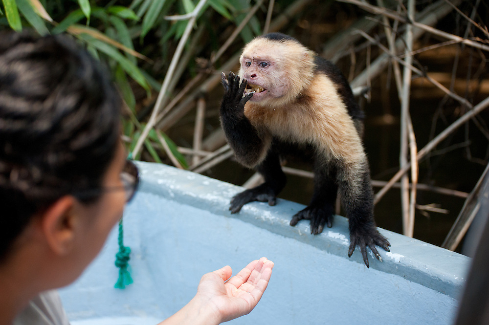 A capuchin monkey emerges from Palo Verde National Park