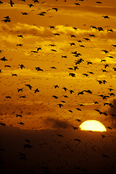 A flock of birds flying with the setting sun.