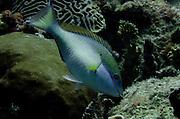 Redband Parrotfish (Sparisoma aurofrenatum)<br /> BONAIRE, Netherlands Antilles, Caribbean<br /> HABITAT & DISTRIBUTION: Reef and Rocks<br /> Florida, Bahamas, Caribbean, Gulf of Mexico & Bermuda.