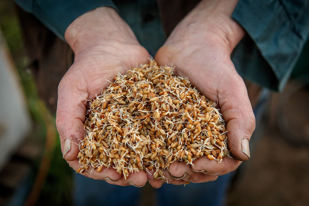 Belgrove Distillery owner Peter Bignell inspects malted barley at Belgrove Distillery in Kempton, Tasmania, August 25, 2015. Gary He/DRAMBOX MEDIA LIBRARY