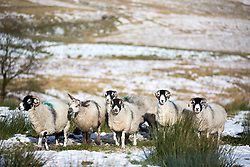© Licensed to London News Pictures. 10/11/2016. Ingleton UK. Picture shows sheep in a snow covered field in the Yorkshire Dales. Photo credit: Andrew McCaren/LNP