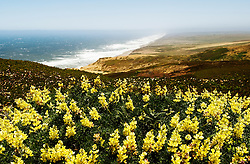 California, San Francisco: Yellow lupine wildflowers at Point Reyes in Marin County. .Photo #: 33-casanf81434.Photo © Lee Foster 2008