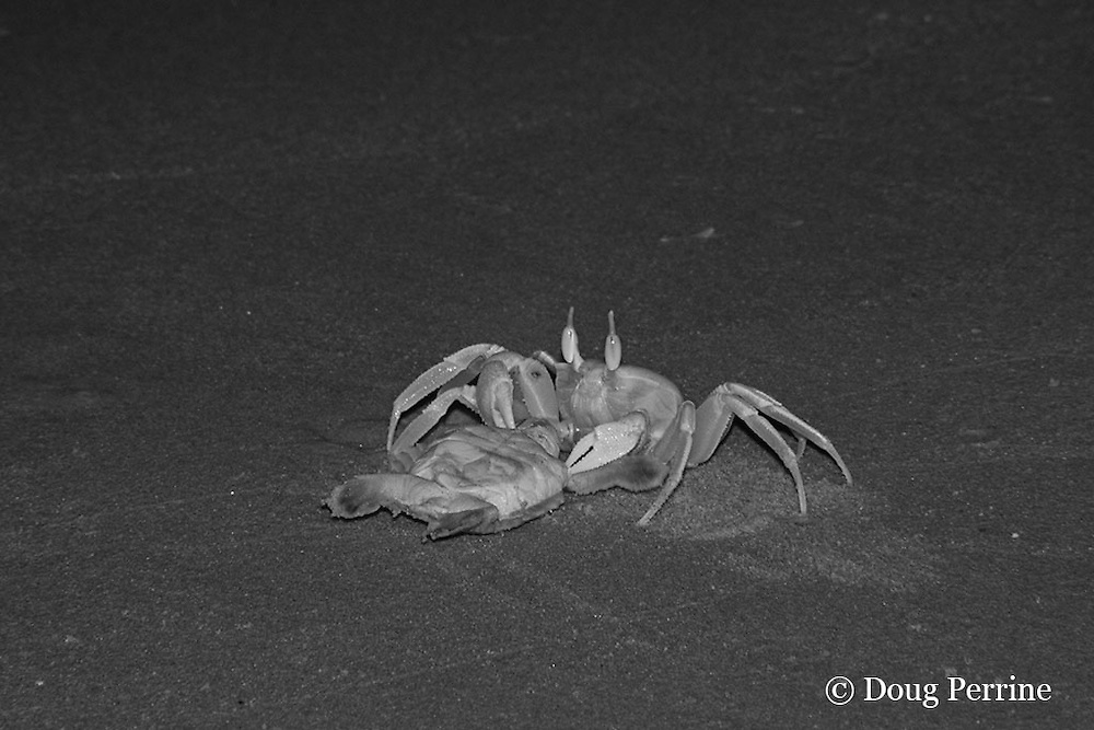 ghost crab, Ocypode sp., drags off live Australian flatback sea turtle hatchling, Natator depressus, ( endemic to Australia & southern New Guninea ) Crab Island, off Cape York Peninsula, Torres Strait, Queensland, Australia; photo taken in the dark of night using infrared illumination