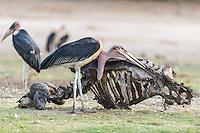 Marabou Stork pecking at the skeleton of a Cape Bufallo, Chobe River, Kasane, Botswana.