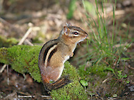 A Very Cute Eastern Chipmunk, Tamias striatus