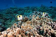 Teardrop Butterflyfish, Chaetodon unimaculatus, Bloch, 1787, Molokini Crater, Hawaii