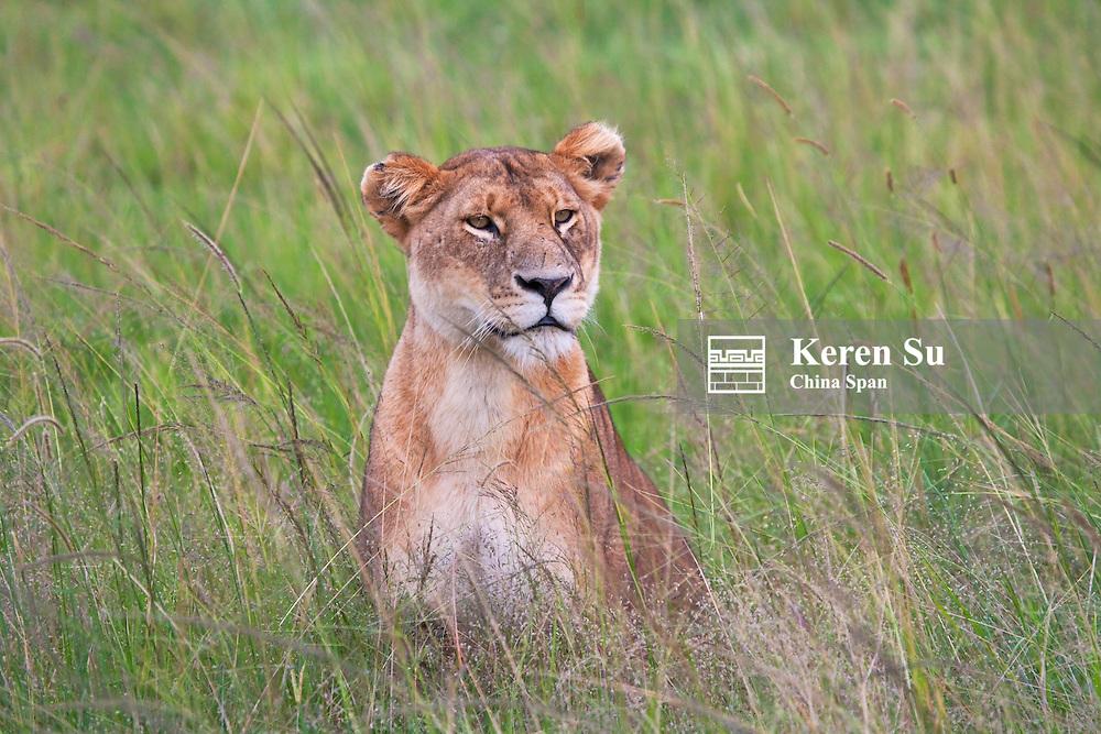 Lion on the savanah, Masai Mara, Kenya