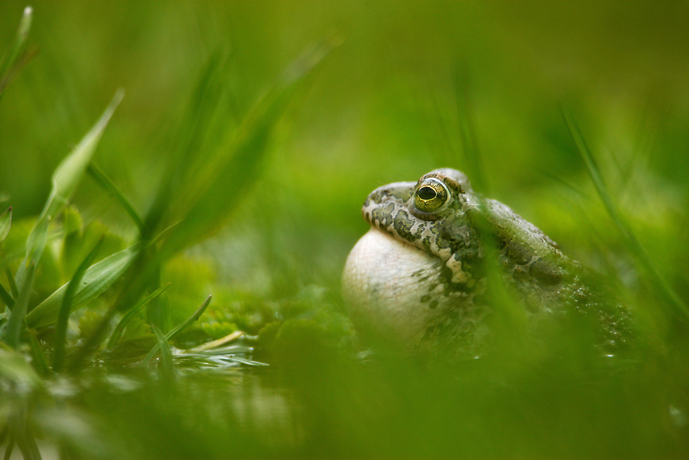 Russia, Caucasus. European green toad (Bufo viridis) displaying and inflating its throat in a pond 2711 m asl in Adylsu valley, a side valley to Baksan valley and Elbrus.