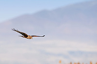 A Northern Harrier glides along the edge of the Bear River in Box Elder County in northern Utah.