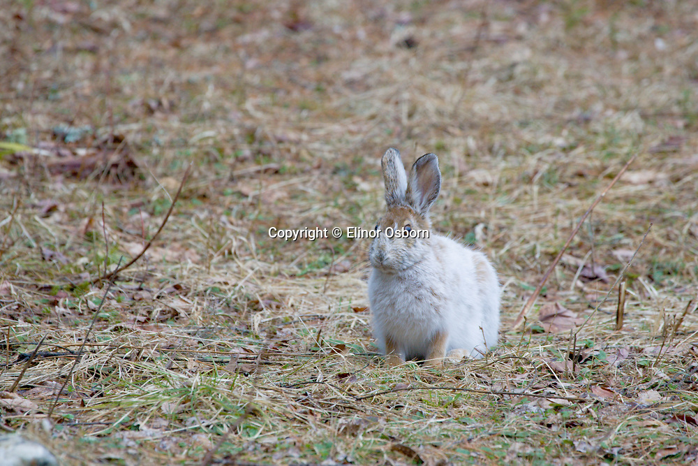 Snowshoe hare changing coat