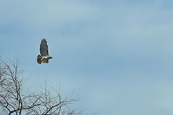 "The red-tailed hawk is a bird of prey, one of three species colloquially known in the United States as the ""chickenhawk,"" though it rarely preys on standard sized chickens"
