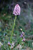 Pyramidal Orchid (Anacamptis pyramidalis) and Heldreich´s Orchid (Ophrys heldreichii), Kato Archanes, Crete
