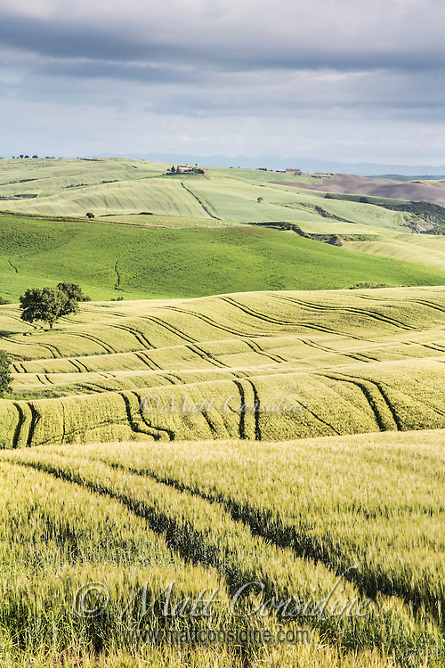 Rolling fields of wheat. (Photo by Travel Photographer Matt Considine)