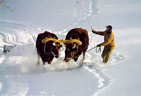In the winter time, Todd uses the oxen for plowing the driveway.