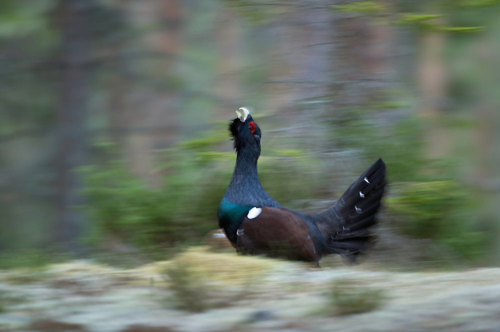 24.04.2009.Capercaillie (Tetrao urogallus) running. Cock displaying in the forest. Courting. Lekking behaviour..Bergslagen, Sweden.