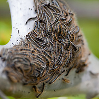 Eastern Tent Caterpillar (Malacosoma americanum) coming out of nest on cherry tree.