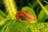 Slug feeding<br /> PENNSYLVANIA: Centre Co.<br /> Ten acre Pond on Scotia Range Rd.<br /> 26.June.2015<br /> J.C. Abbott #2755 &amp; K.K. Abbott