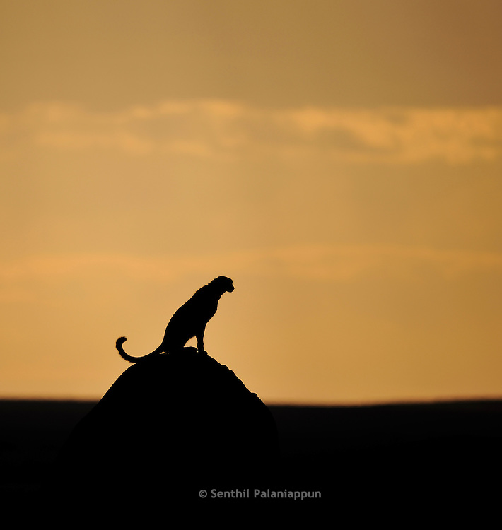 Cheetah (Acinonyx jubatus) on a termite mound at sunrise, Masai Mara, Kenya