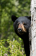 Black Bear (Ursus americanus) sow peeks around cottonwood tree, Anchorage.