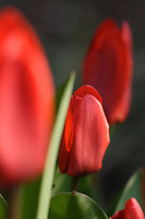 Tulip flowers - close-up