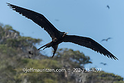 Magnificent Frigatebird in flight along Bona Island in Panama Bay.