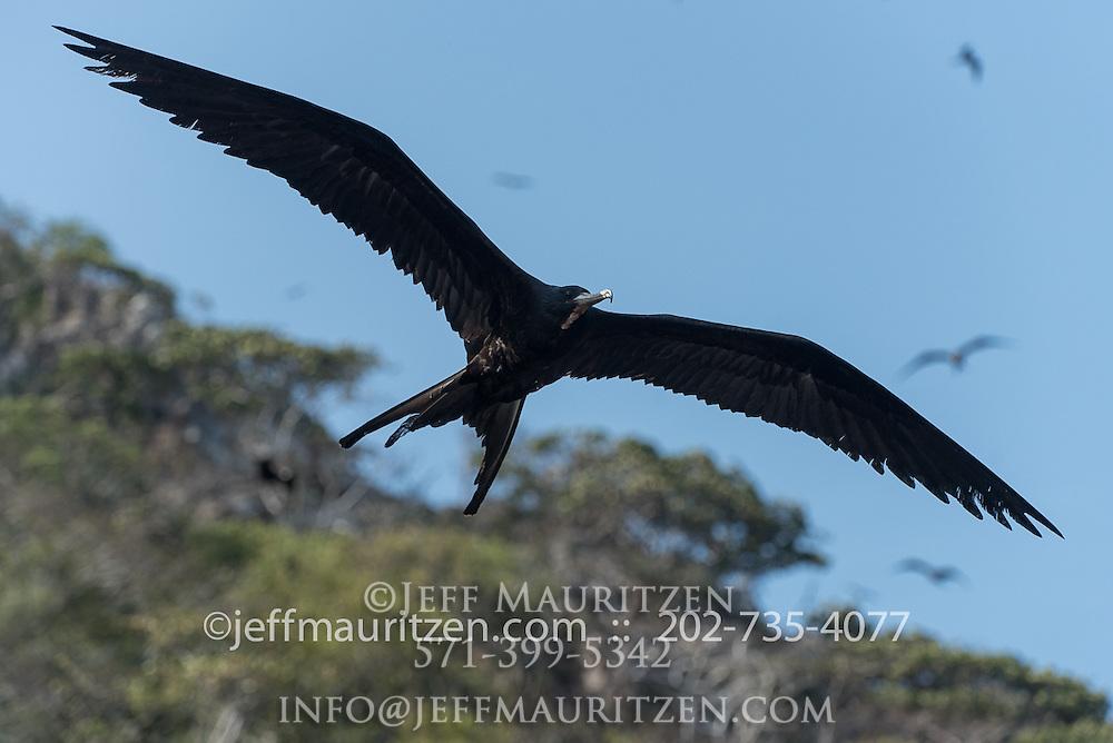 Magnificent Frigatebird in flight along Bona Island in Panama Bay.