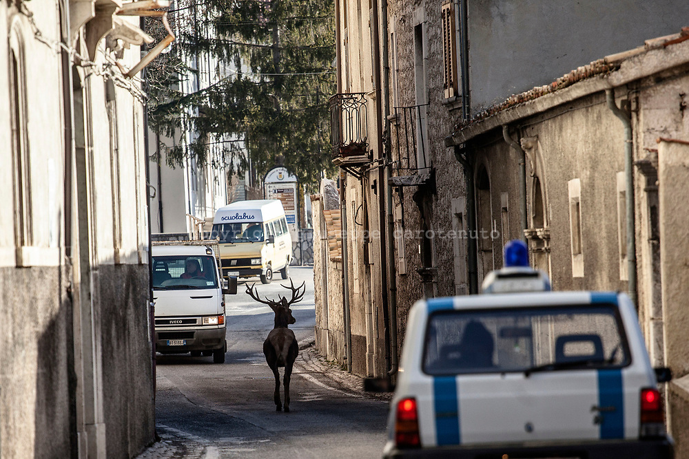 17 February 2017, Villetta Barrea, AQ Italy - A deer that's strolling around the center of village of Villetta Barrea in the morning.