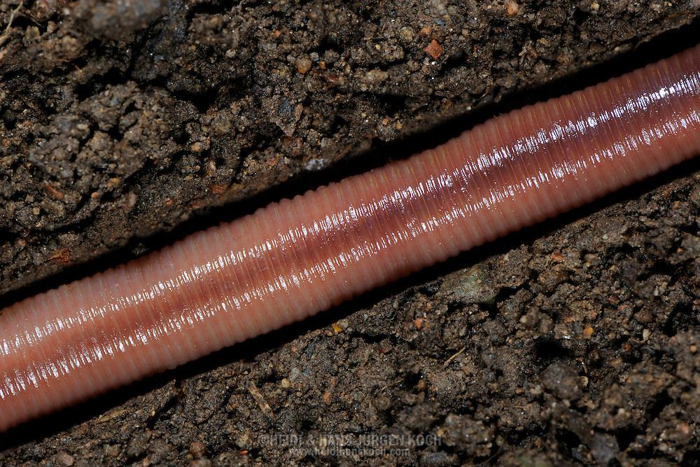 Common earthworm, Nightcrawler, Lumbricus terrestris, in terrestrial pipe.Gemeiner Regenwurm, Tauwurm, Lumbricus terrestris; in Erdroehre