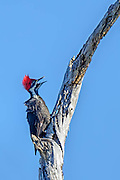 Pileated Woodpecker with its beak open sitting on a branch