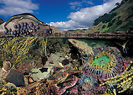 Photo illustration spreads from our children books:- Life size guide to New Zealand fish & Real size guide to New Zealand's rocky shore.  Books available direct from us and A2 posters are available from these spreads.
