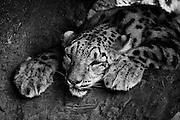Lazy Snow Leopard