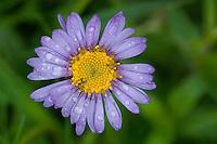 Aster alpinus; Alpine aster flower, Augstenberg, Liechtenstein