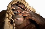 Deutschland, DEU, Krefeld, 2004: Projekt ueber die biologischen Wurzeln der Mode. Die Shootings hierfuer wurden mit Grossen Menschenaffen, die dem Menschen am naechsten sind, im Krefelder Zoo gemacht. Die Tiere waren weder zahm noch trainiert. Die Kleidungsstuecke wurden in die Gehege geworfen und was immer die Tiere damit anstellten, taten sie aus sich selbst heraus. Ein Eingreifen oder gar eine Regie war unmoeglich. Da das Verhalten der Affen im Mittelpunkt stand, wurden die Hintergruende von den Originalfotografien entfernt. Das Orang-Utan-Weibchen Sita mit einem Jutesack. | Germany, DEU, Krefeld, 2004: Project to look at the basics and roots of fashion. The shootings took place in the Zoo Krefeld with three species of Great Apes who are the nearest to us. The animals were neither tamed nor trained. Whatever the animals did, they did on their own. Any intervention or directing was impossible. To set the focus on the behaviour of the animals itself we removed the background from the original photographs. Orang Utan (Pongo pygmaeus) female Sita with a jute sack.|