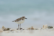 Lesser Sand Plover, D'Arros Island and St Joseph Atoll, Amirantees, Seychelles,