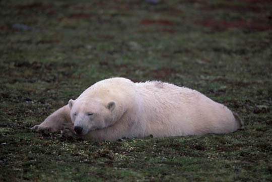Polar Bear, (Ursus maritimus) Late fall. Churchill, Manitoba. Canada. Resting.