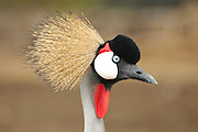 close up of a Grey Crowned Crane (Balearica regulorum)