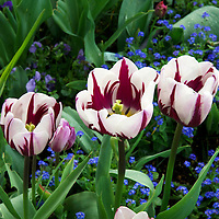 Zurel tulips or Rem's favorite are named after Dutch painter Rembrandt.  These Zurel tulips were photographed in Claude Monet's garden in Giverny, France.
